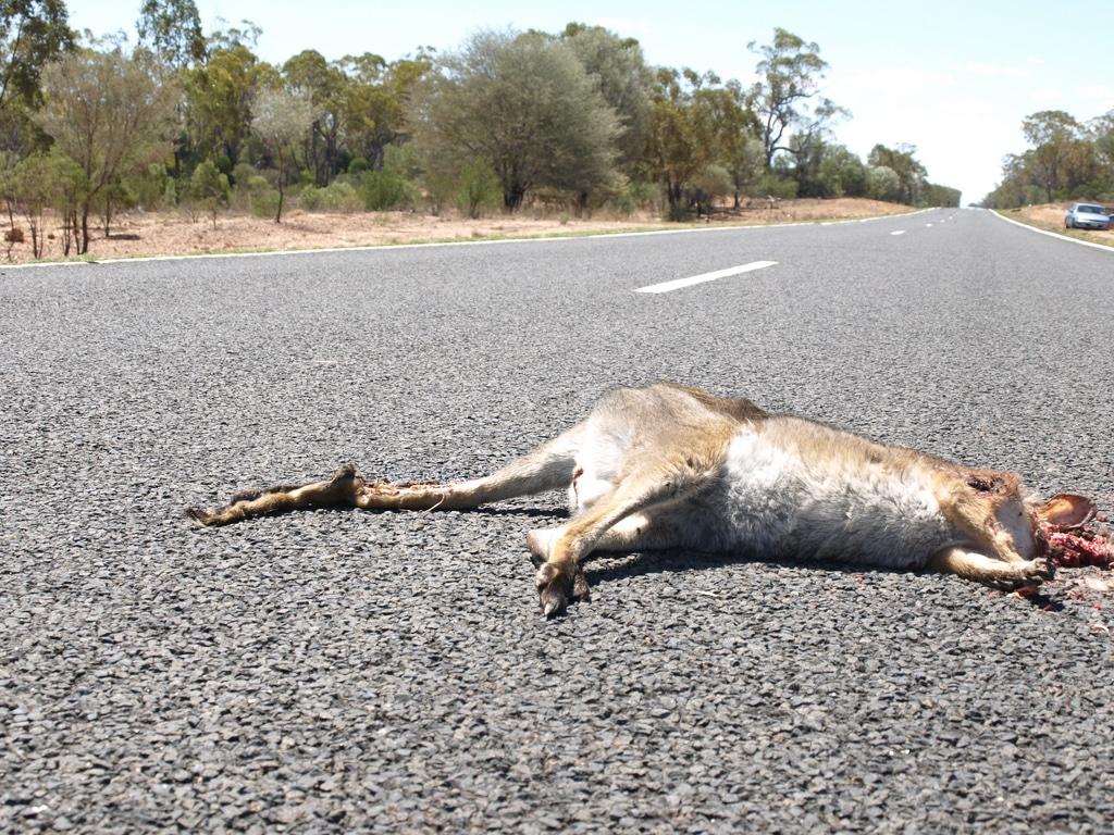 Kangaroo Road Kill